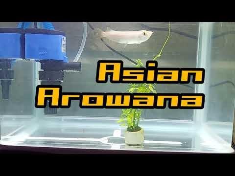 Asian Arowana | Malaysian Gold?