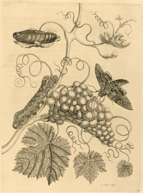 Metamorphosibus Insectorum Surinamensium (p78)