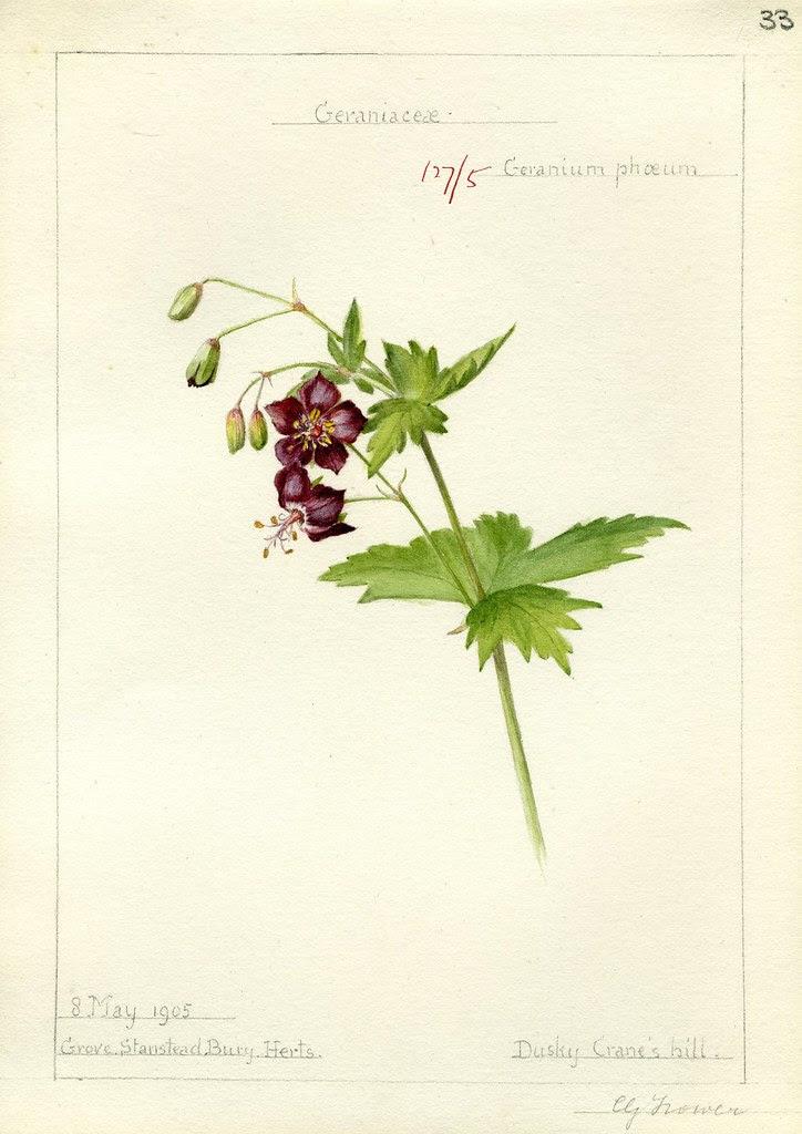 Geranium phoeum, Herts. 1905