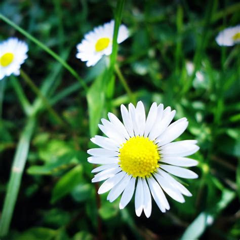 pure aesthetic daisy flower grass grove ipad air wallpaper