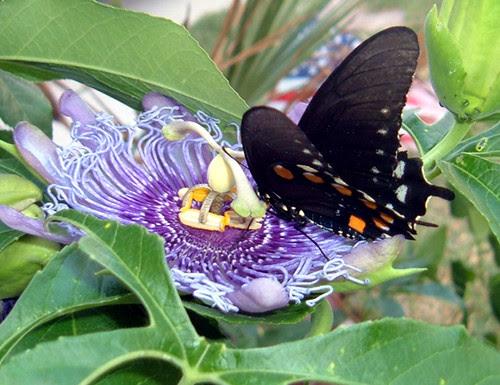 ButterflyBlack2