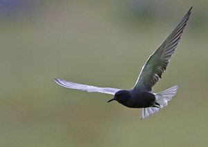 A Black Tern flying in Iceland.
