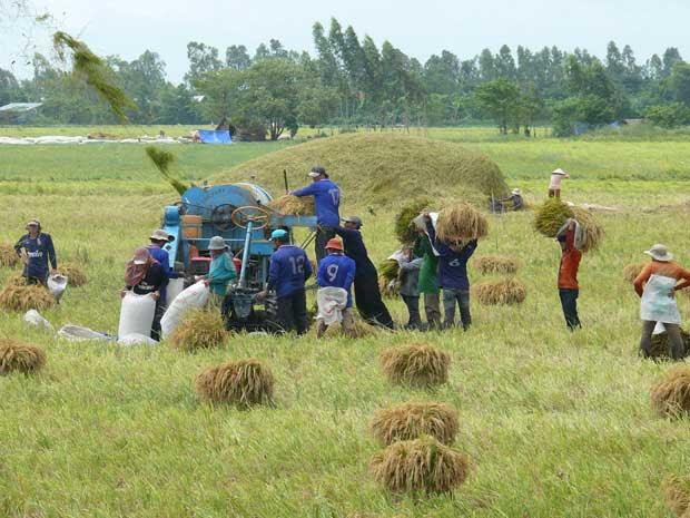 Thu hoạch lúa ở Kiên Giang.