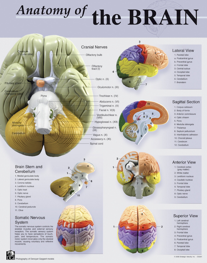 Infographic: Anatomy Of the Brain