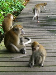 MacRitchie Monkeys