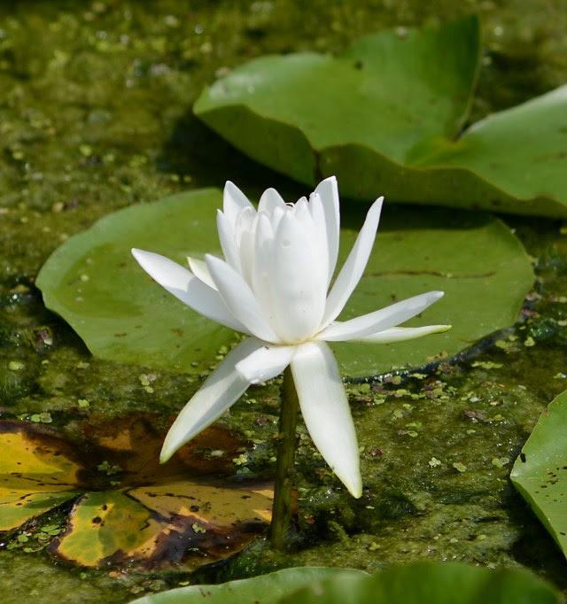American White Waterlily Nymphaea odorata