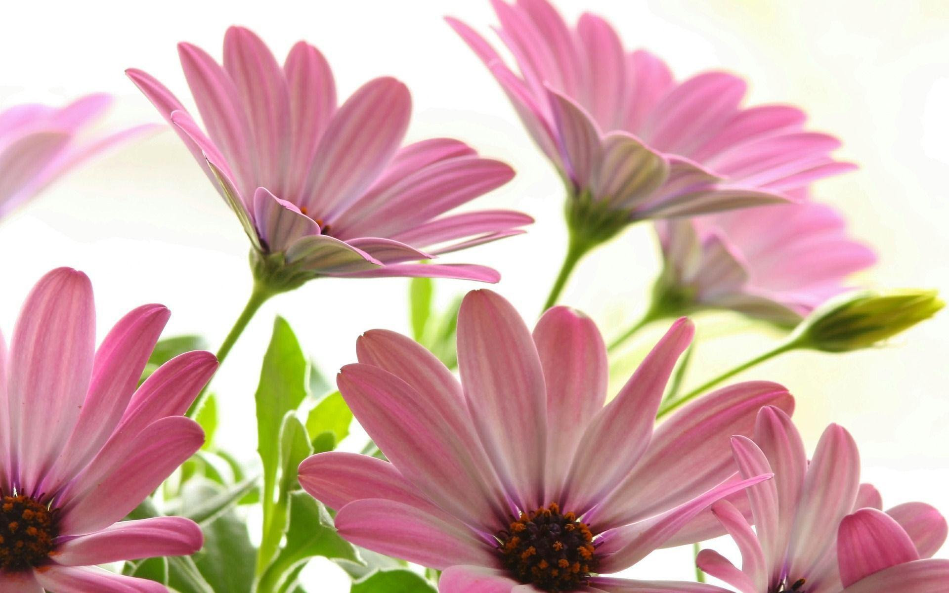 Pink Daisy Wallpapers - Wallpaper Cave
