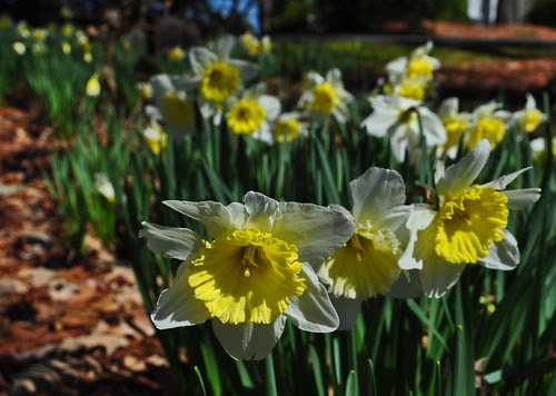 Narcissus Wednesday (7)