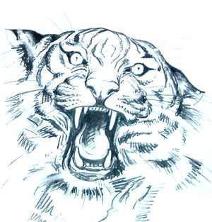 Cómo Dibujar Una Cara De Tigre Tigrepedia