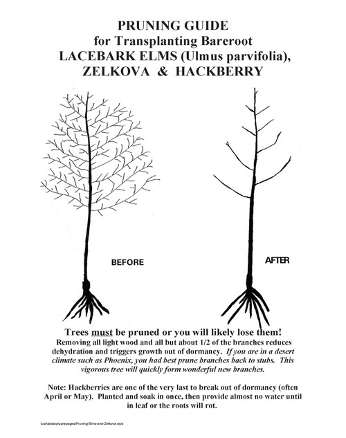 Elms Hackberry Zelkova Pruning For Transplant Survival