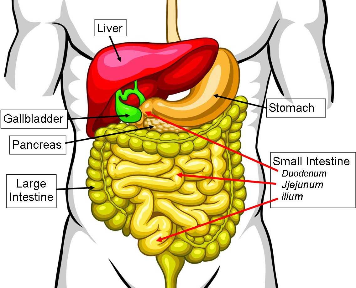 Small Intestine Diagram - ClipArt Best