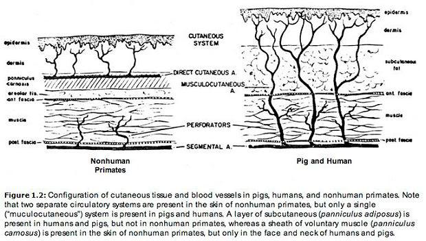 musculocutaneous arteries