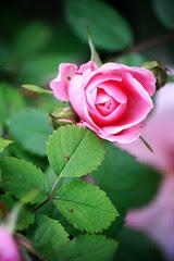 Roses: vivid (soft)