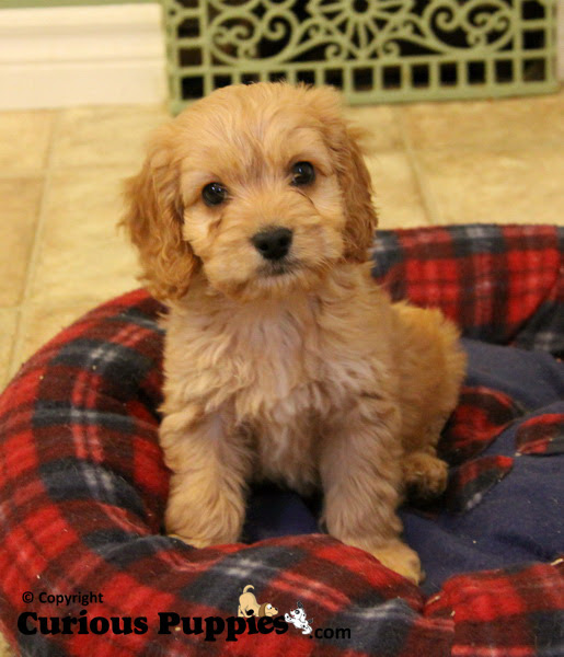 Cockapoo Puppies For Sale : Puppies for Sale : Dogs for sale in Ontario, Canada
