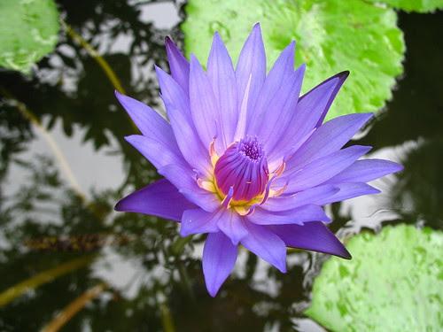 Color Purple, Water lilly - Tím biếc nghiêng nghiêng