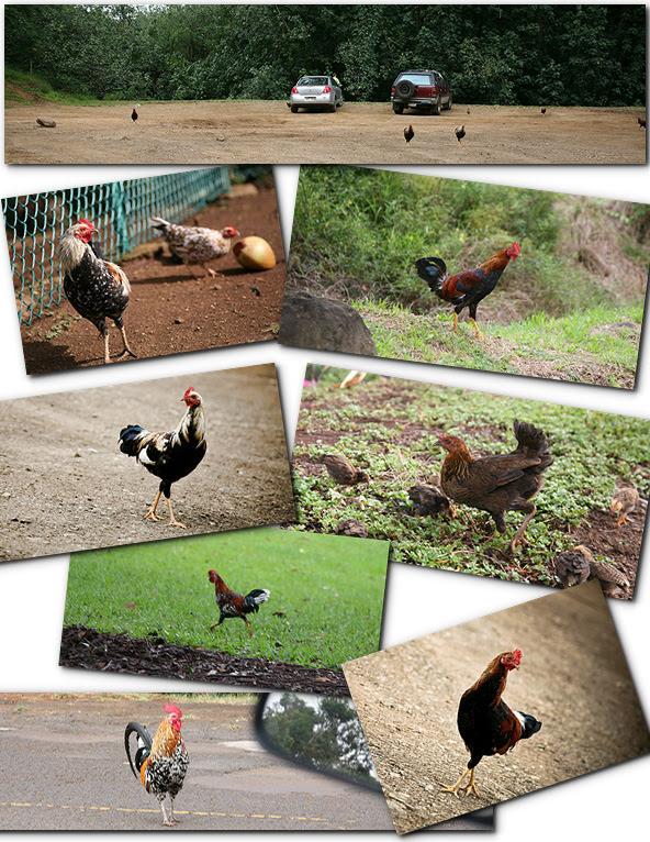 Kauai Chickens1