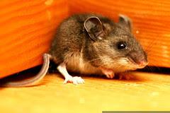 cornered mouse - profile - _MG_3005
