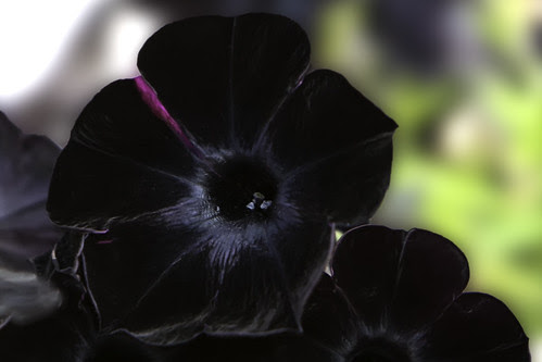 Black Flower by aldenchadwick