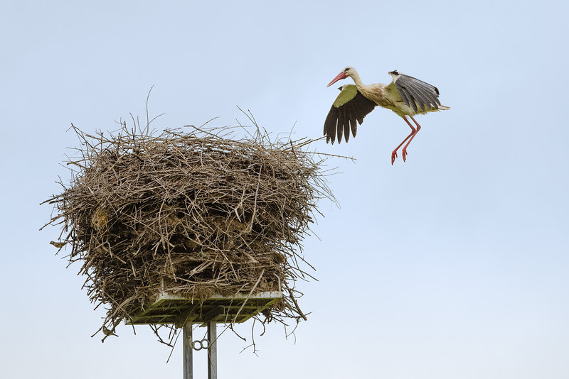 Landing stork, Alentejo, Portugal