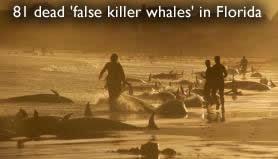 Νεκρά ψεύτικες φάλαινες στη Φλόριντα