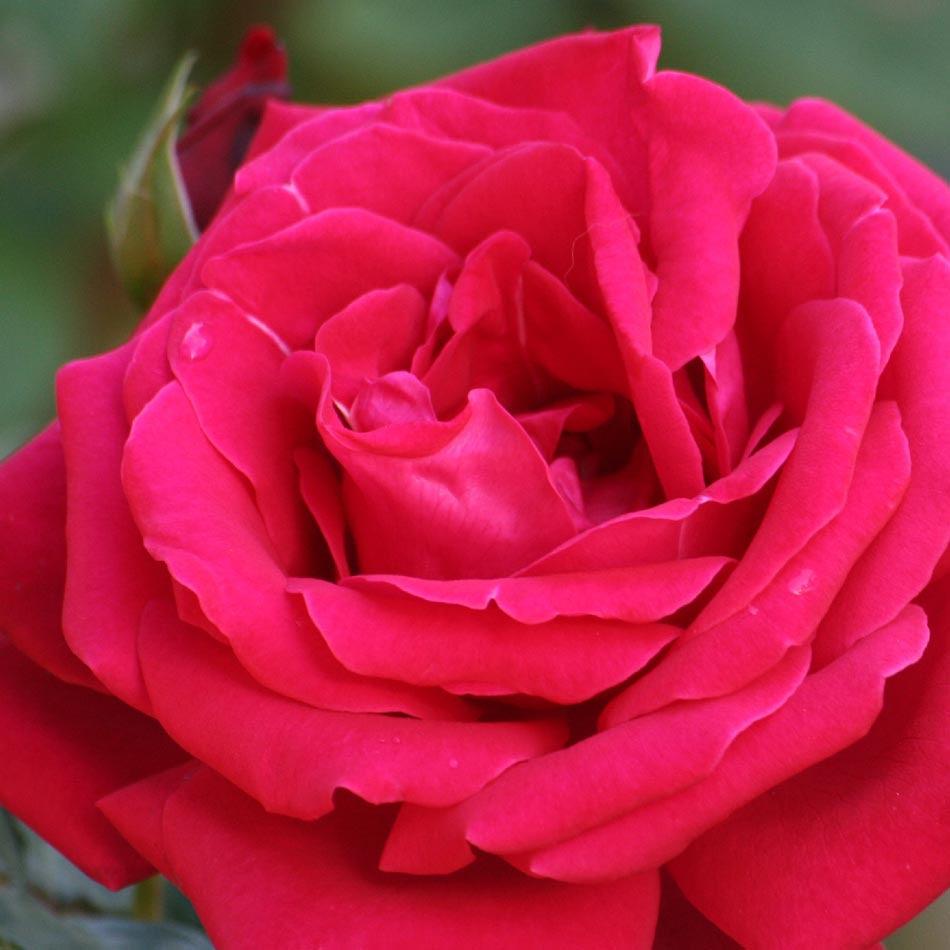 Significado De Las Rosas Florpediacom