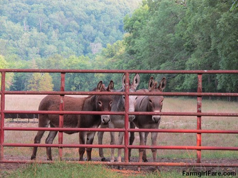 (18-10) Gnat, Esmeralda, and Gus looking for treats in Donkeyland - FarmgirlFare.com