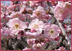 19 delightful plum sisters