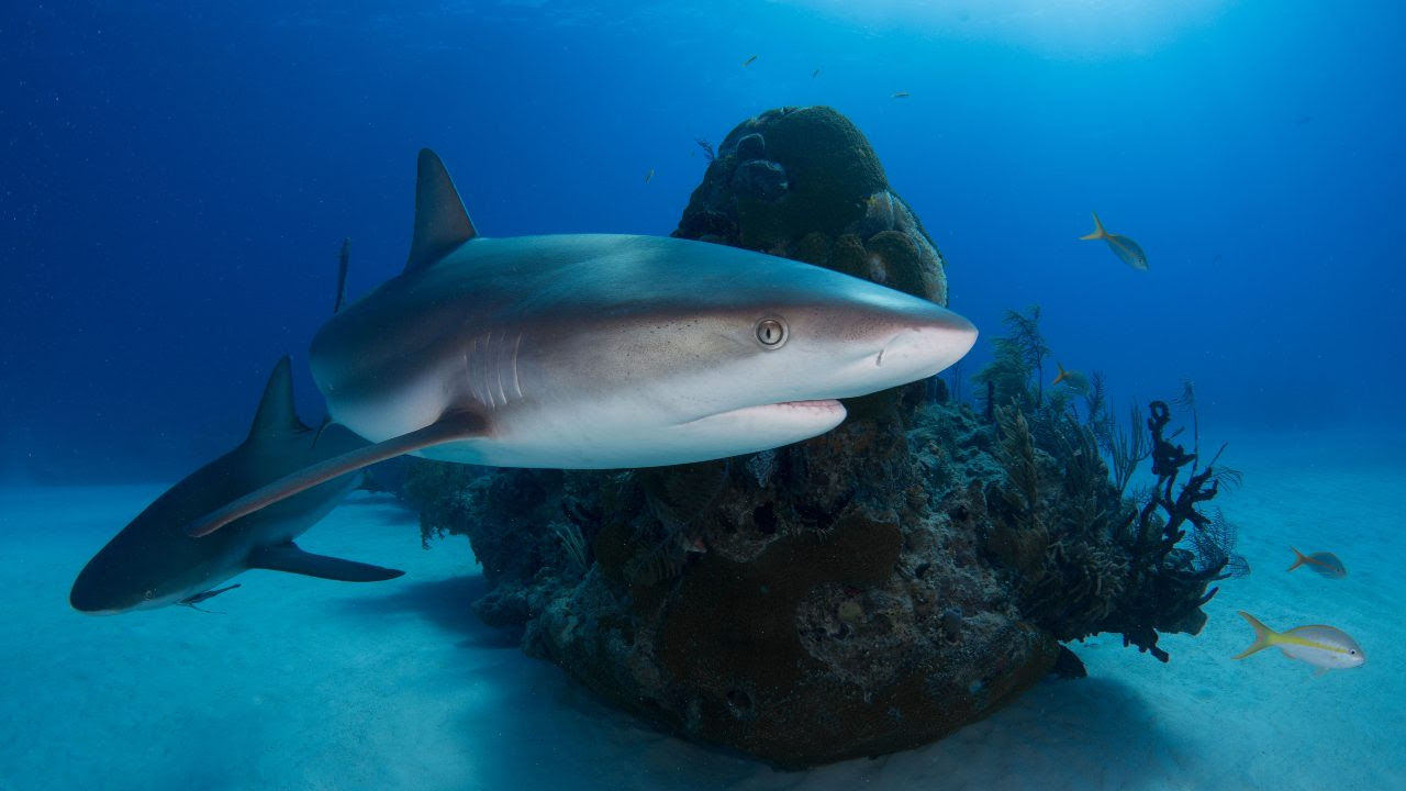 Between 63 million and 273 million sharks die at the hands of humans each year, and liver oil is harvested from at least a couple million of them,