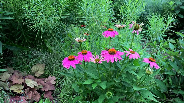coneflowers in bright pink