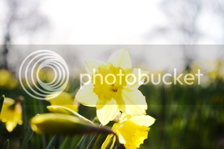 photo daffodil close up_zpsoso8gkz3.jpg