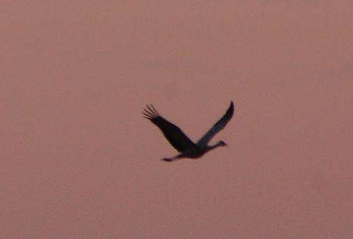 1single-flying-crane.jpg
