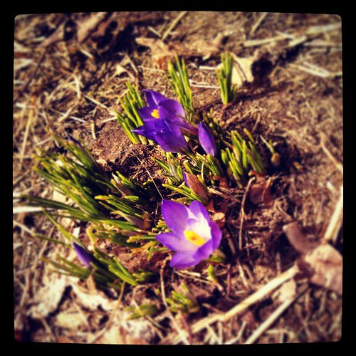 Spring has sprung! #spring #flowers #newhampshire