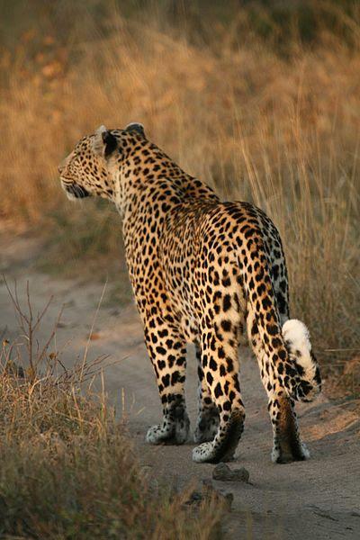 File:Leopard walking.jpg