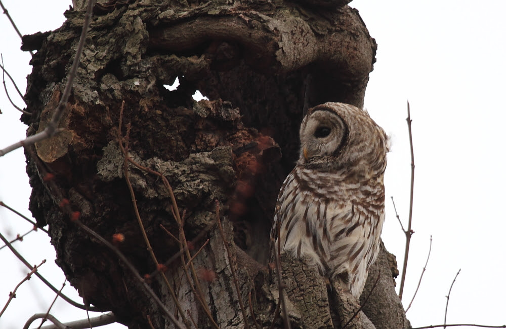 Northwoods Barred Owl