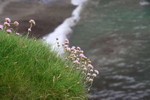 Thrift overlooking the sea at Tintagel
