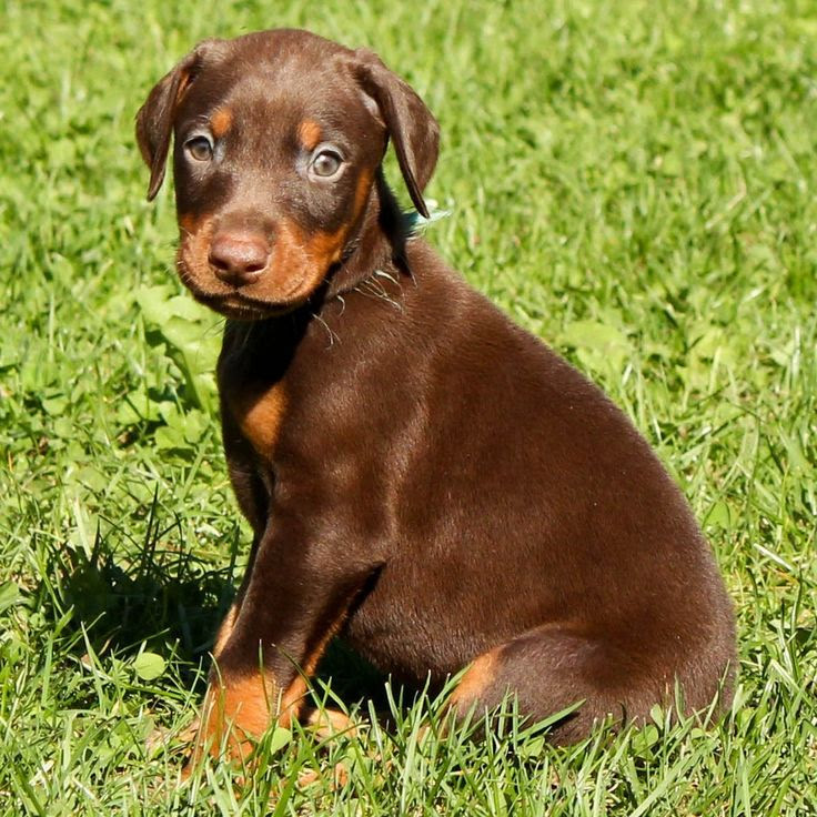 European Doberman Puppies for sale in Connecticut USA