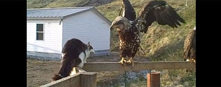 Three eagles, a cat, and a fox convene on porch (YouTube)