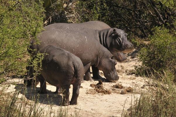 Hipopótamo (Foto: SXC)