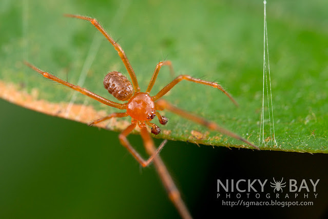 Comb-Footed Spider (Theridiidae) - DSC_0635