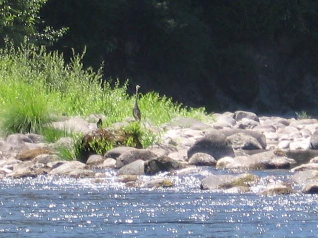 Heron, McIver State Park