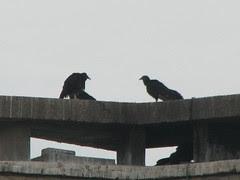 black vultures OOS Hueston Woods