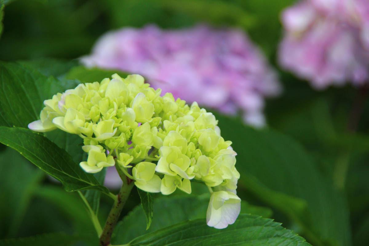 紫陽花 札幌百合が原公園の8月の花 月の方舟ノアの情報見聞録