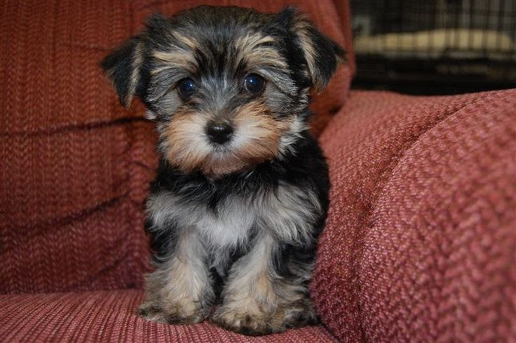 Oregon Morkie Puppy for sale in USA