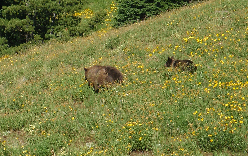 Grizzly bear and cub, Yellowstone