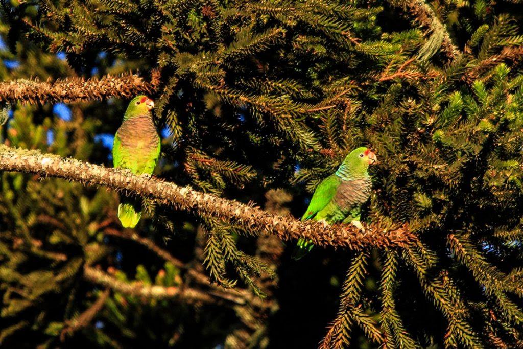 .... juntamente com os Papagaios-de-peito-roxo, bem mais raros. Foto: Fábio Olmos