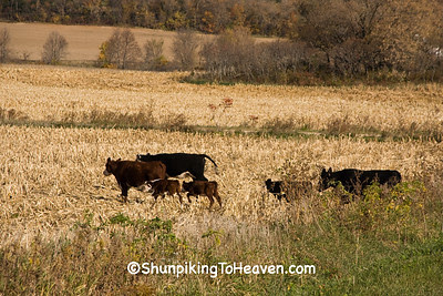 Escaped Cattle, Sauk County, Wisconsin
