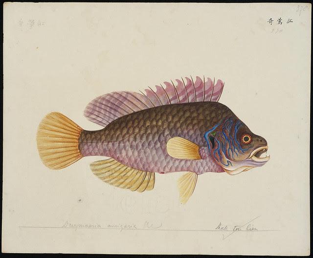 Duymeria aurigaria Blkr [= Pteragogus aurigarius (Richardson, 1845)]