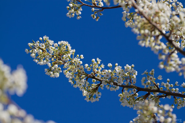 white flowers, blue sky