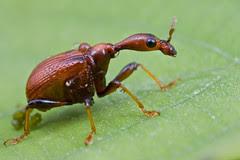 female cycnotrachelus sp giraffe weevil / long necked beetle in the rain...........IMG_8920 copy
