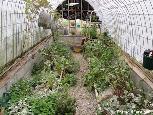 (19-9) The blasted blister beetles have attacked the greenhouse, hence the dusting of diatomaceous earth on everything - FarmgirlFare.com